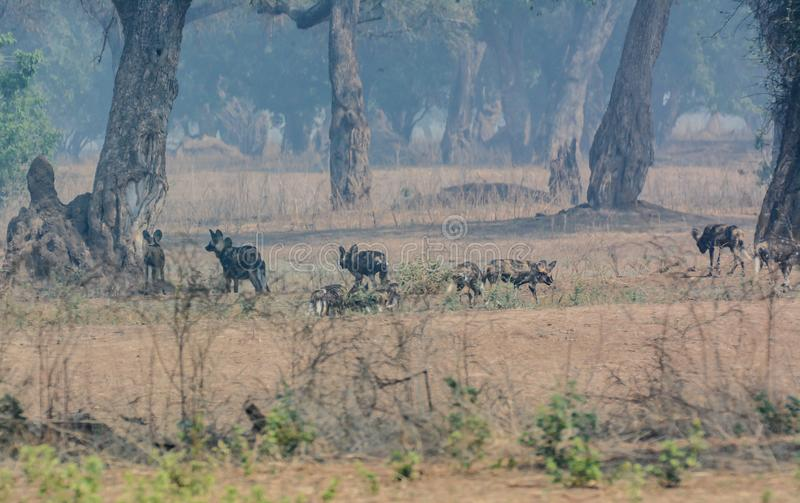 African wild dogs in the Savannah off in Zimbabwe, South Africa stock photos