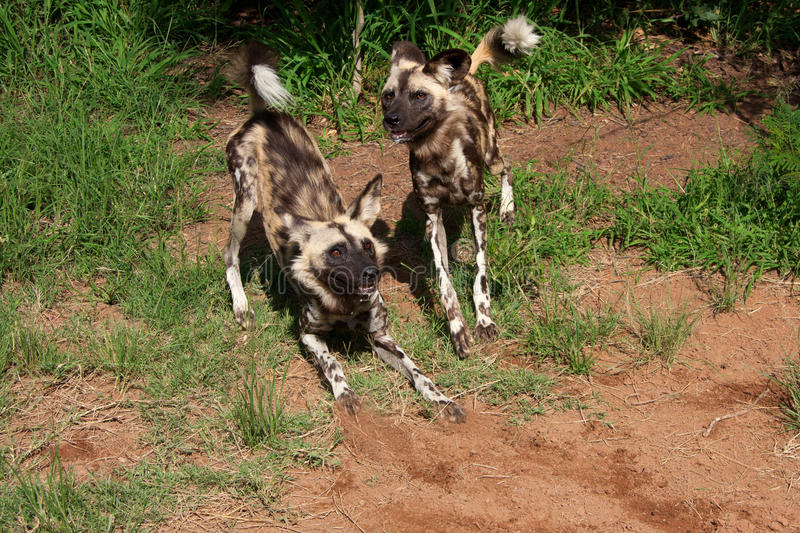 African Wild Dogs Royalty Free Stock Photo