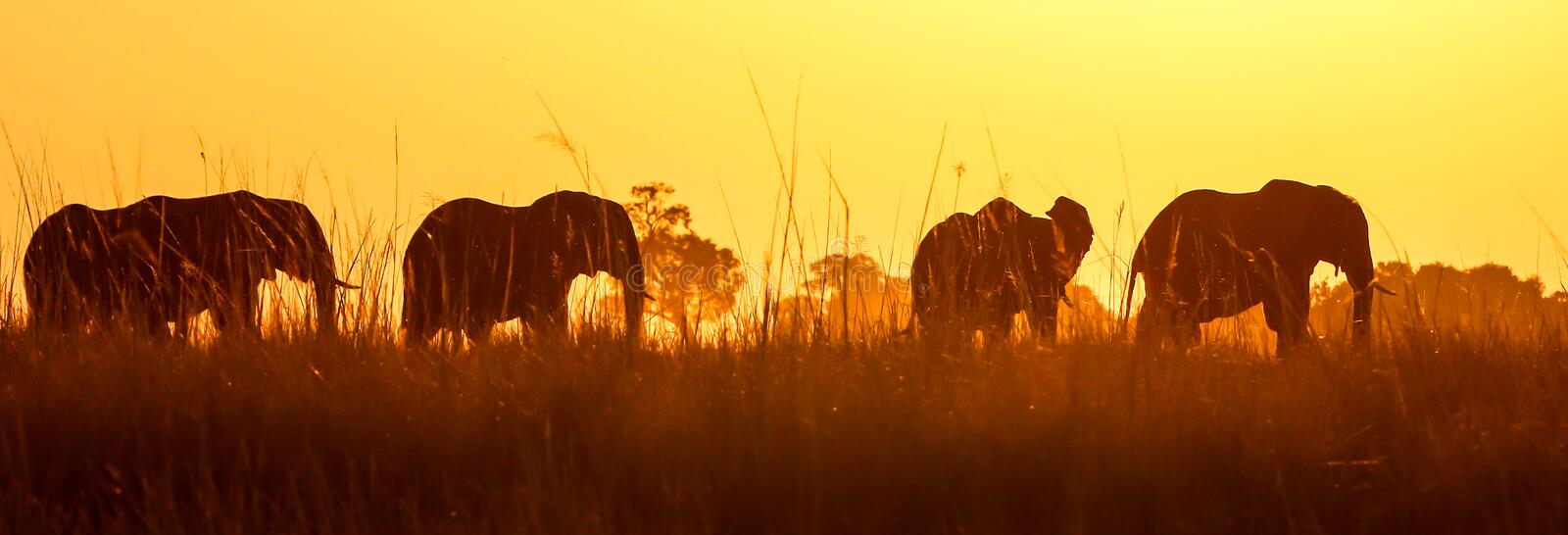 African wild elephant at sunset in Chobe royalty free stock photo