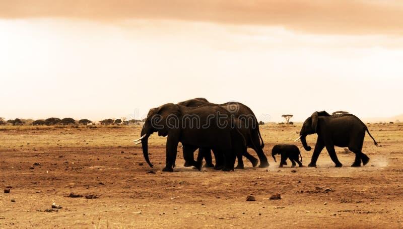 African wild elephants. African safari, wild elephants family and landscape of Amboseli National Park, Kenya royalty free stock photos