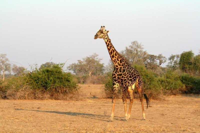 African Wild Giraffe stock photography