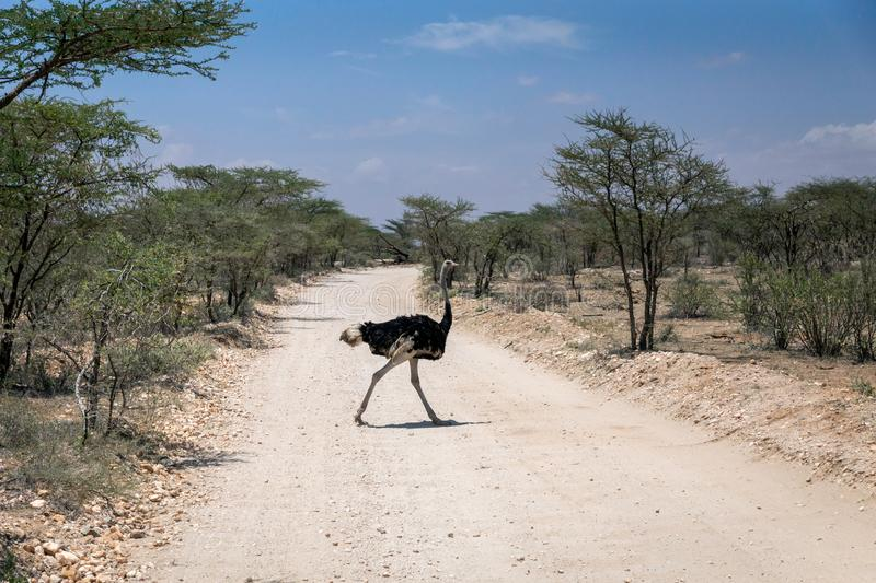 African wild ostrich in the middle of the road infront of safari vehicle during safari trip. In Samburu/Kenya/Africa. Trip and animal concept stock photo
