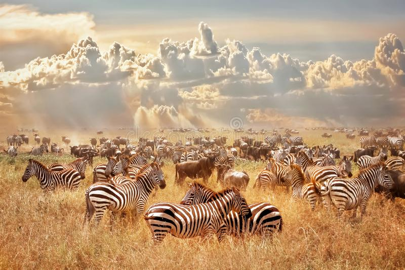 African wild zebras and wildebeest in the African savanna against a background of cumulus thunderclouds and the setting sun. Wild stock image