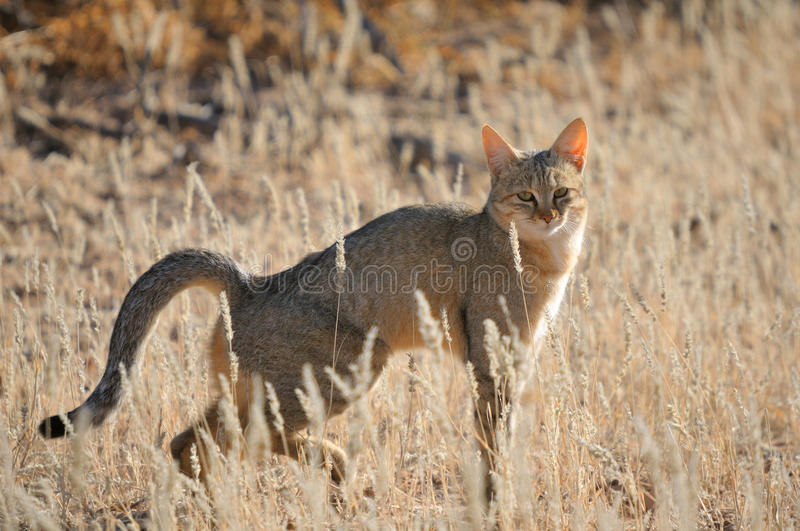 Download African Wildcat Stock Photography - Image: 28763032