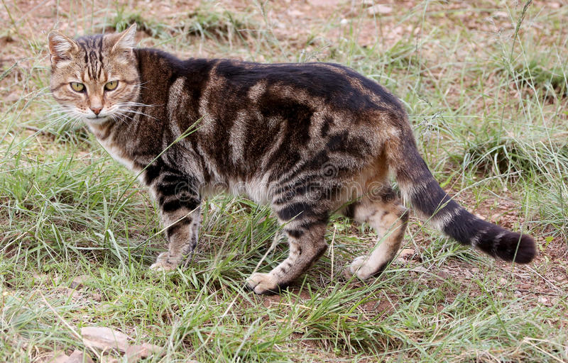 African Wildcat royalty free stock photography