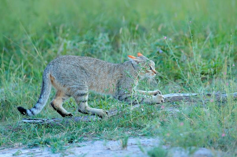 African wildcat, Felis lybica, also called Near Eastern Wild Cat. Wild animal in nature habitat, grass meadow, Nxai Pan National P royalty free stock images