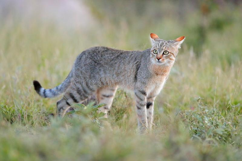 African wildcat, Felis lybica, also called Near Eastern Wild Cat. Wild animal in nature habitat, grass meadow. Wildlife nature. Wi royalty free stock photos