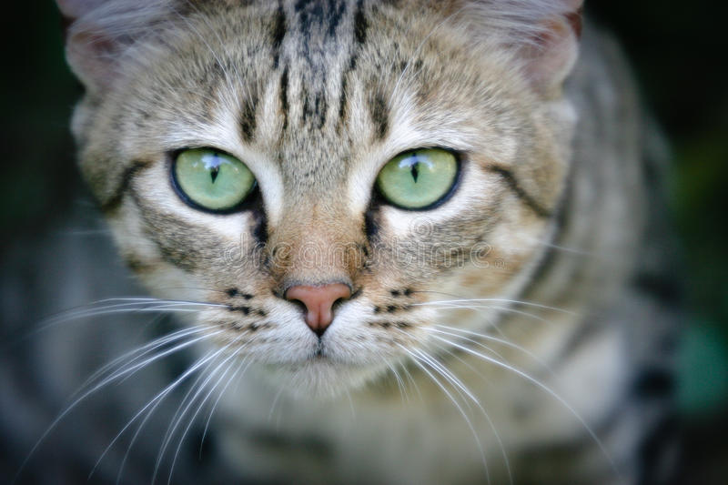 African Wildcat royalty free stock photo