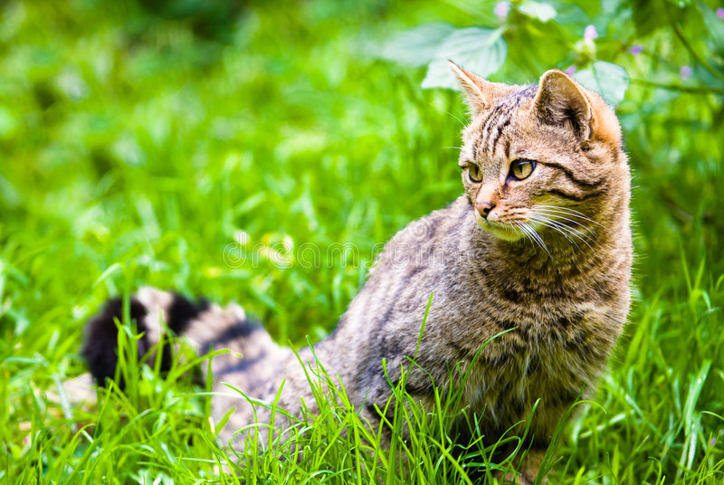 African wildcat in meadow royalty free stock photography