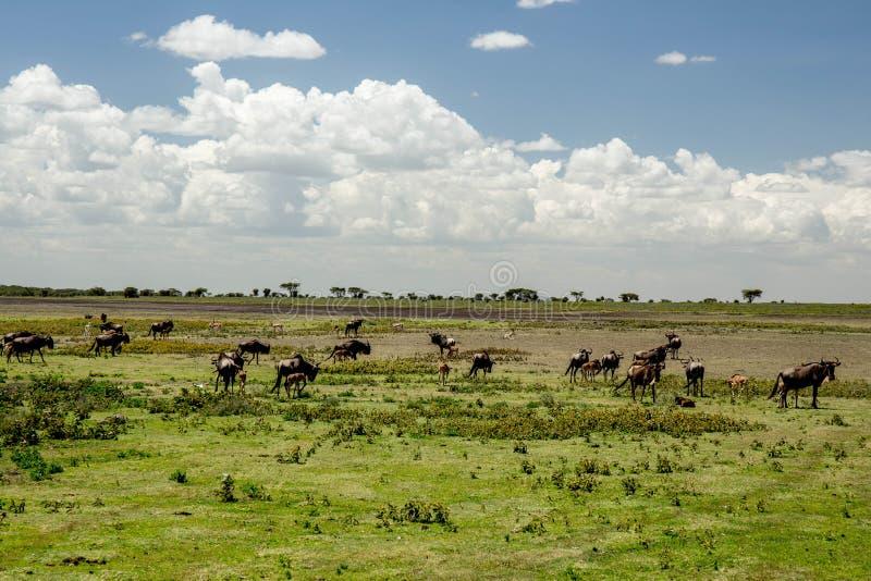 African Wilder Beasts. African Wilder Beast Herd on Green Grassland stock image