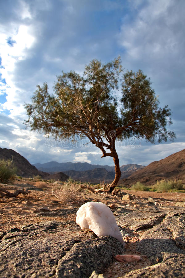 African wilderness. Lone shepherd's tree in the Ai-Ais Richtersveld Transfrontier Park in South Africa stock images