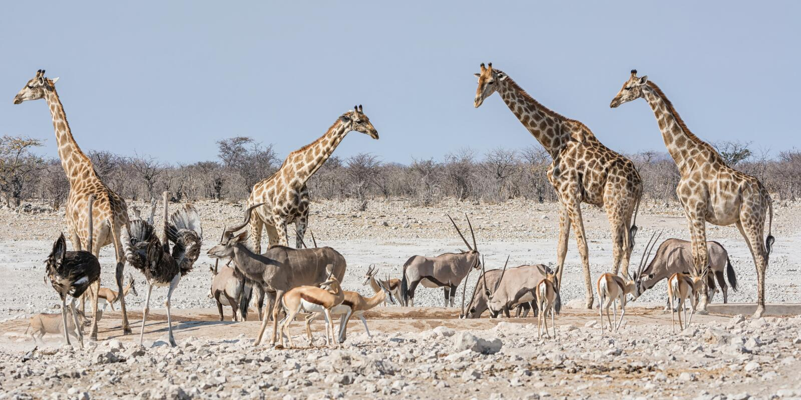 Busy Watering Hole. African wildlife at a busy watering hole in the Namibian savanna royalty free stock image