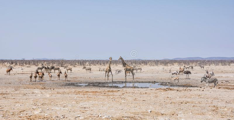 Busy Watering Hole. African wildlife at a busy watering hole in the Namibian savanna royalty free stock photography