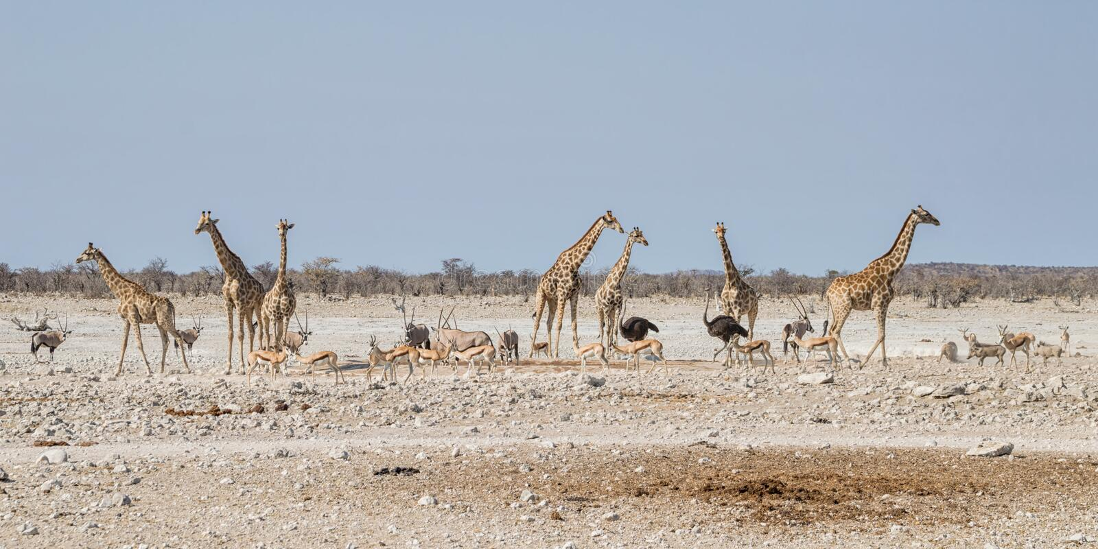 Busy Watering Hole. African wildlife at a busy watering hole in the Namibian savanna stock images