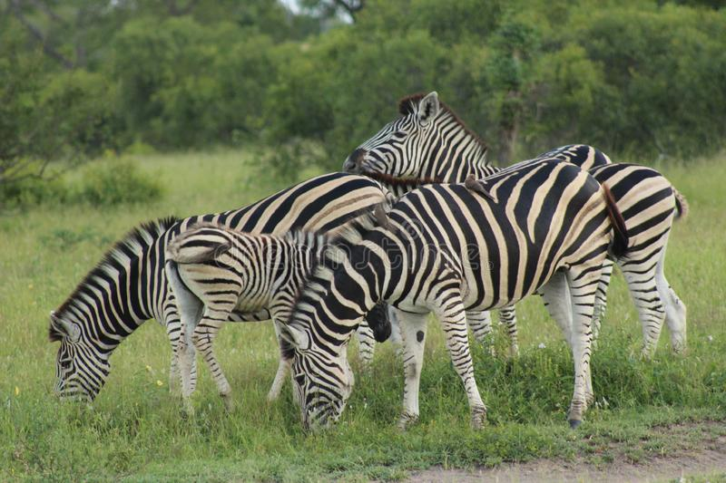 African Wildlife - Zebra - The Kruger National Park. African Wildlife - A dazzle of Zebra - The Kruger National Park. A dazzle of zebra grazing in the bush royalty free stock photo
