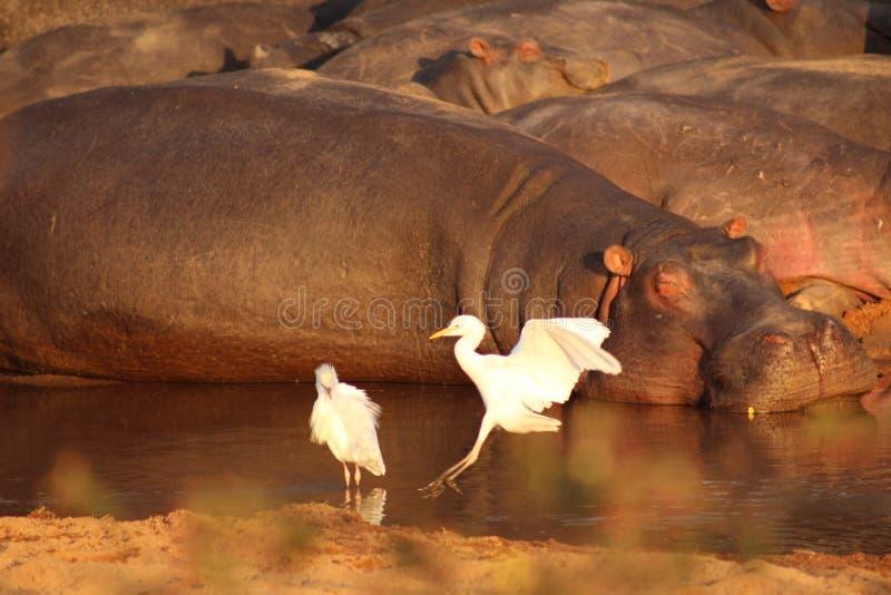 African Wildlife - Hippopotamus - The Kruger National Park. African Wildlife - Hippopotamus crash - The Kruger National Park. Hippopotamus in river snorting royalty free stock photo