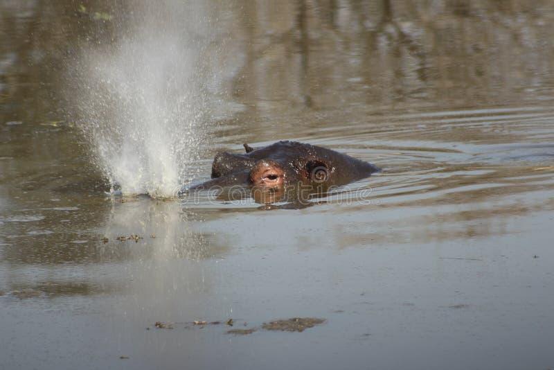 African Wildlife - Hippopotamus - The Kruger National Park. A hippopotamus in river snorting water stock photo