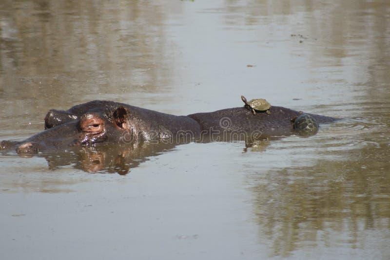 African Wildlife - Hippopotamus - The Kruger National Park. African Wildlife - Hippopotamus  - The Kruger National Park. Hippopotamus in river with turtle on it royalty free stock photos