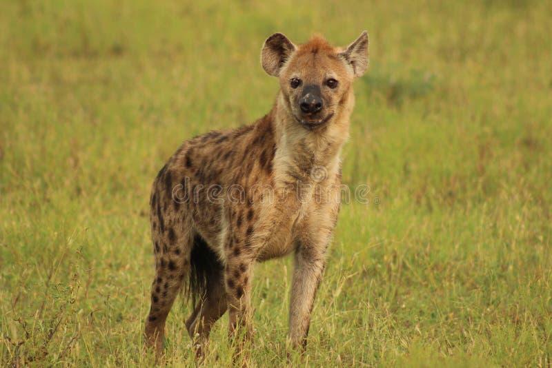 African Wildlife - Hyena - The Kruger National Park. African Wildlife - Hyena  - The Kruger National Park. single hyena close up full body stock photos