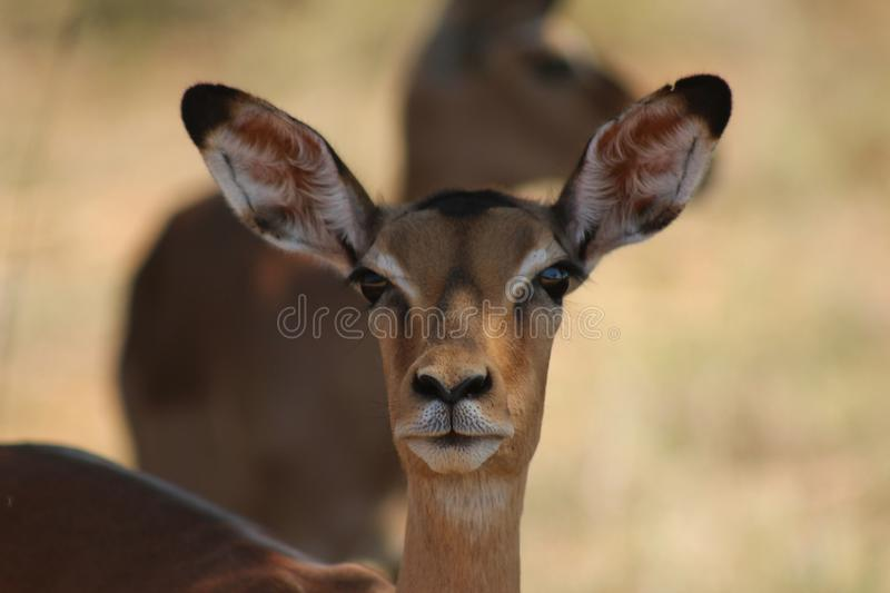 African Wildlife - Impala - The Kruger National Park. African Wildlife - Impala- The Kruger National Park. Close up shot of impala female head and shoulders stock photos
