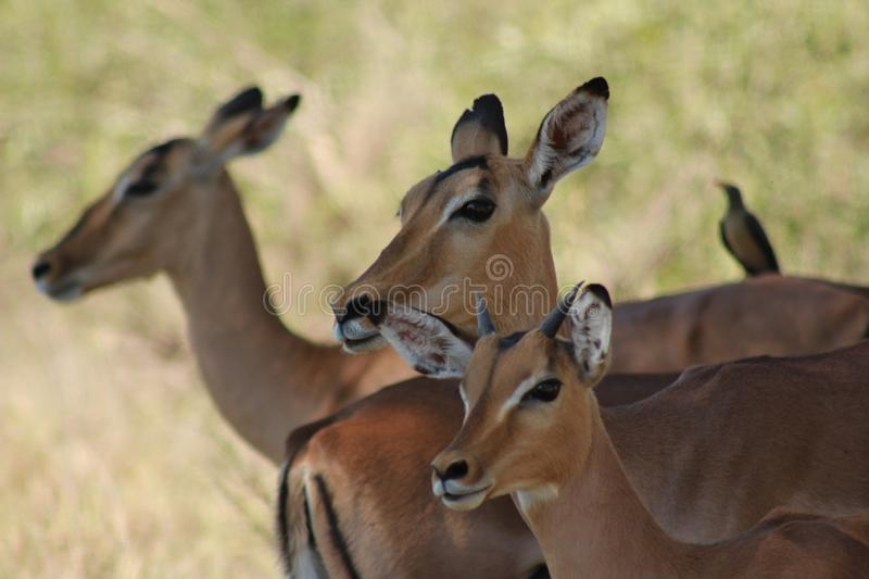 African Wildlife - Impala - The Kruger National Park. African Wildlife - Impala- The Kruger National Park. Herd of  female impala head and shoulders stock photography