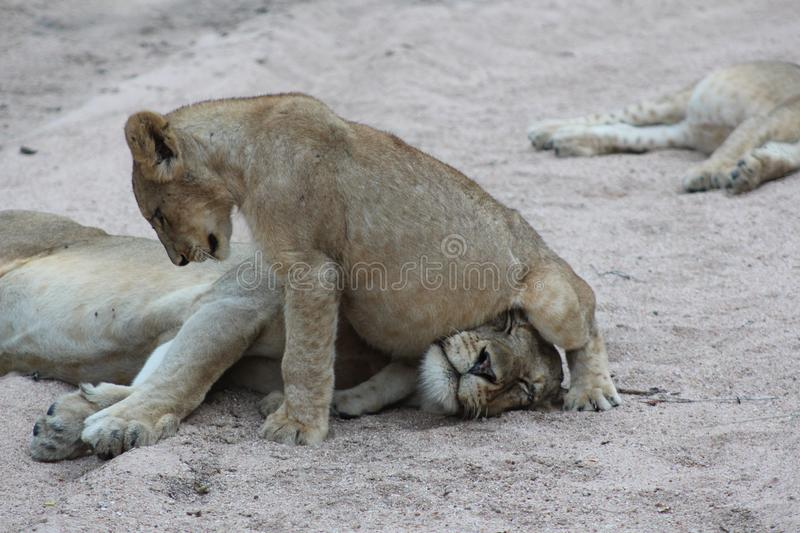 African Wildlife - Lioness - The Kruger National Park royalty free stock photos