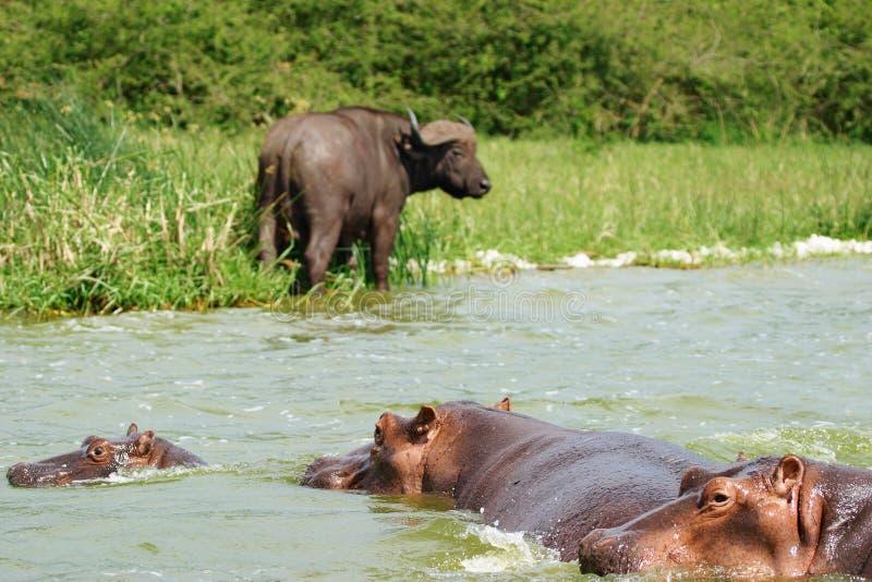 African wildlife, Uganda royalty free stock images