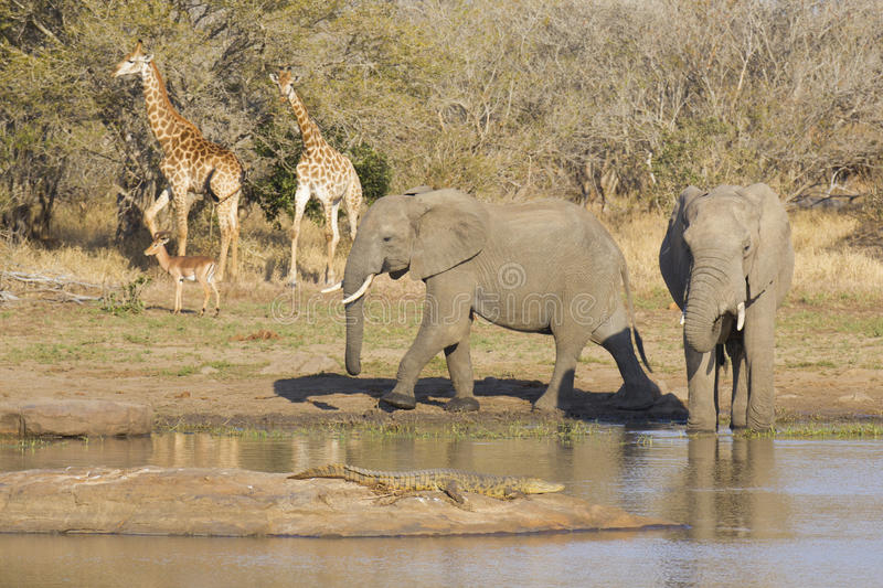 African wildlife at a waterhole royalty free stock photo