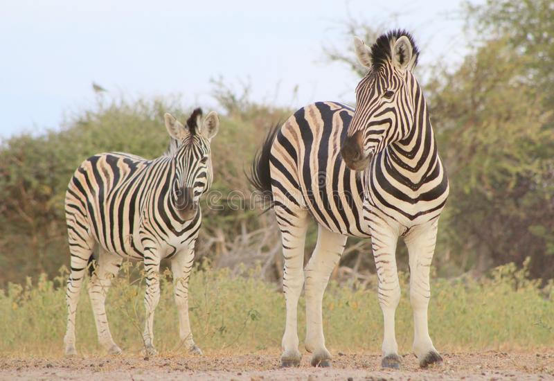 African Wildlife - Zebra, Burchell's - Black and White stock photos
