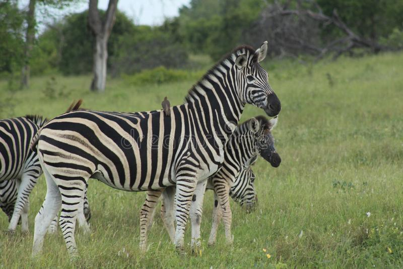 African Wildlife - Zebra - The Kruger National Park. African Wildlife - A dazzle of Zebra - The Kruger National Park. A dazzle of zebra grazing in the bush stock photography