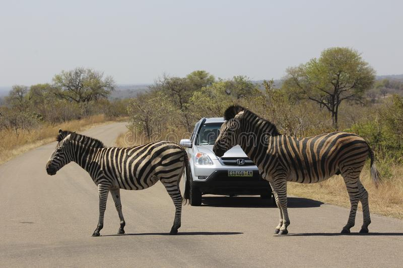African Wildlife - Zebra - The Kruger National Park stock images
