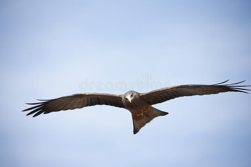 Scavenger Yellow-billed kite on the wing. African Yellow billed kites are known scavengers in Africa`s bush land stock photography