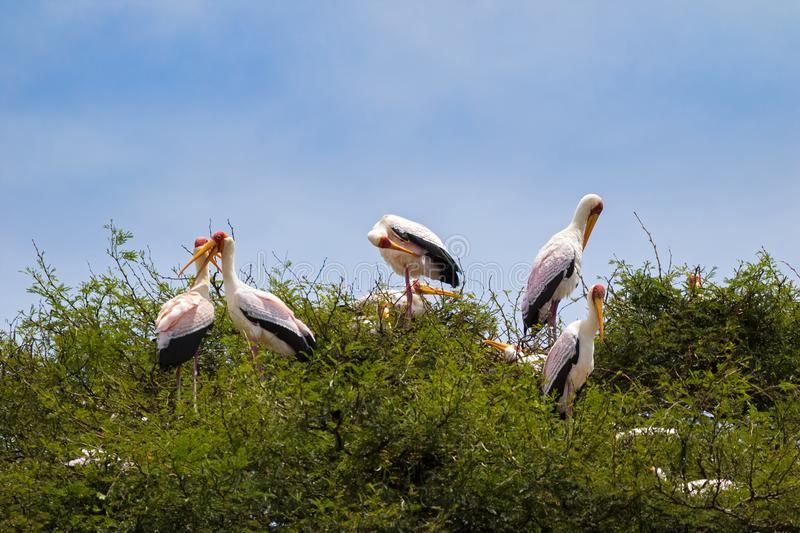 African Yellow billed stork Wood stork, Wood ibis preening on tree branch up high in Tanzania, Africa royalty free stock images