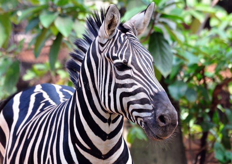 Download African Zebra Stock Images - Image: 11618774