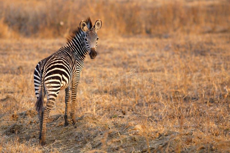 African Zebra royalty free stock photo