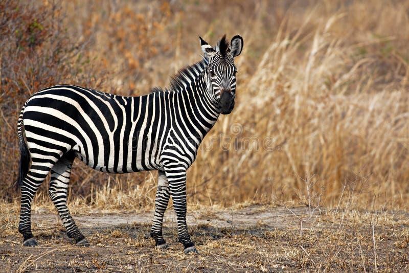African Zebra stock image