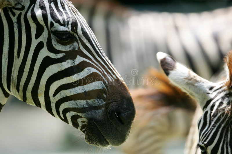 African Zebra royalty free stock image