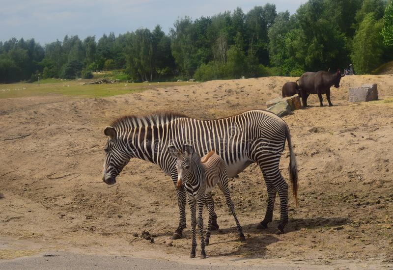 African zebra with baby ... A zebra is an animal that has a medium-sized body. These animals have a fairly dense and stocky physique. The legs of the zebra are royalty free stock photography