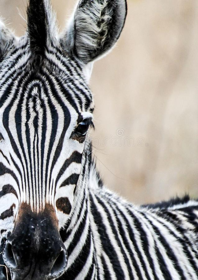 African Zebra Foal. Looking in the lens at Krugerpark royalty free stock photos