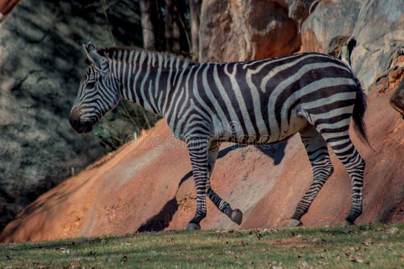 African zebra stock photo
