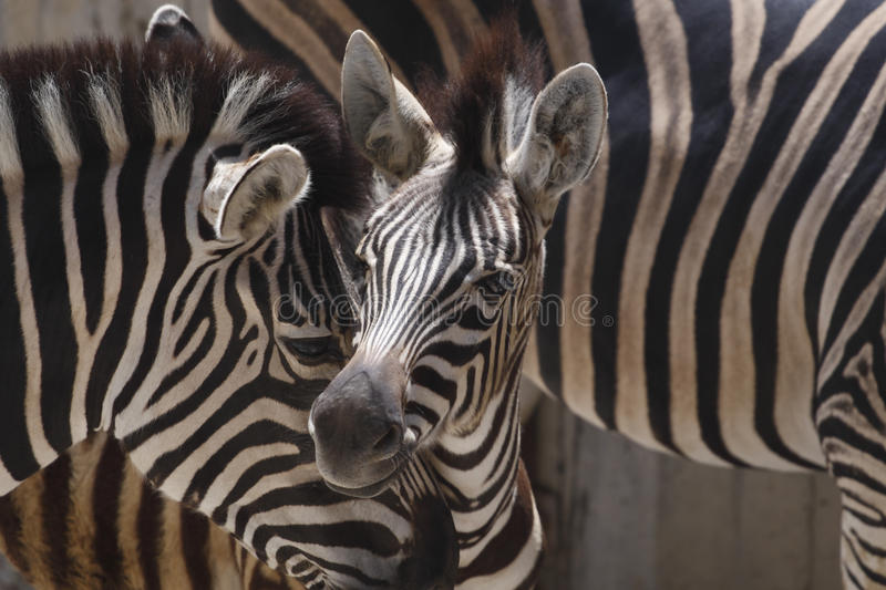 Download African Zebras stock image. Image of young, care, zebra - 10416323