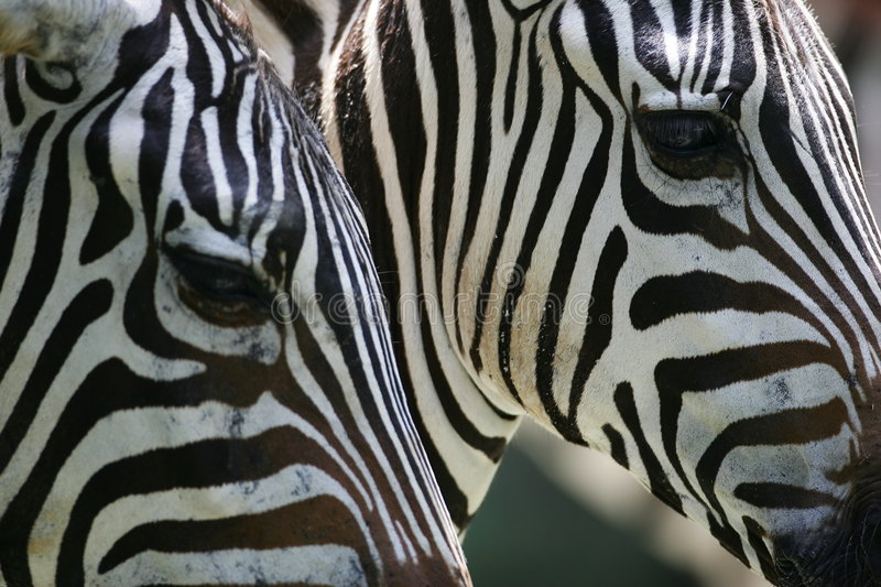 African Zebras royalty free stock image