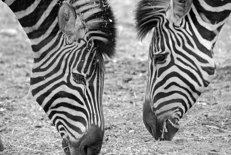 Download African Zebras Feeding stock image. Image of africa, grazing - 11640651