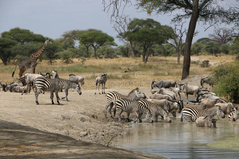 African zebras in tanzania royalty free stock photography