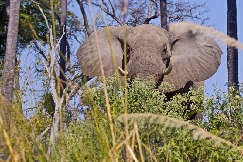 Africana africain de Loxodonta d'éléphant de buisson, également connu sous le nom d'éléphant africain de la savane et plus grand  photographie stock libre de droits