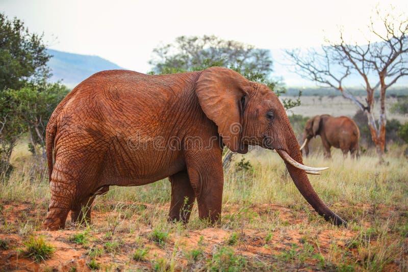 Africana africano del Loxodonta del elefante del arbusto cubierto con polvo rojo fotografía de archivo