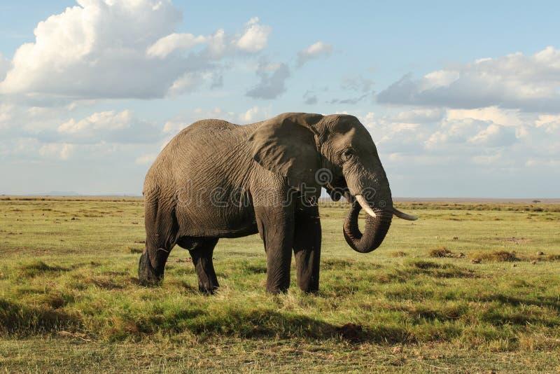 Africana africano del Loxodonta del elefante del arbusto, parte inferior de su b foto de archivo