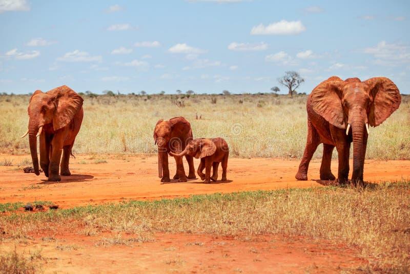 Africana africano do Loxodonta dos elefantes do arbusto da família de quatro pessoas, angra imagem de stock