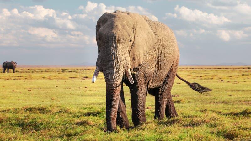 Africana africano do Loxodonta do elefante do arbusto que anda na baixa grama no savana fotografia de stock