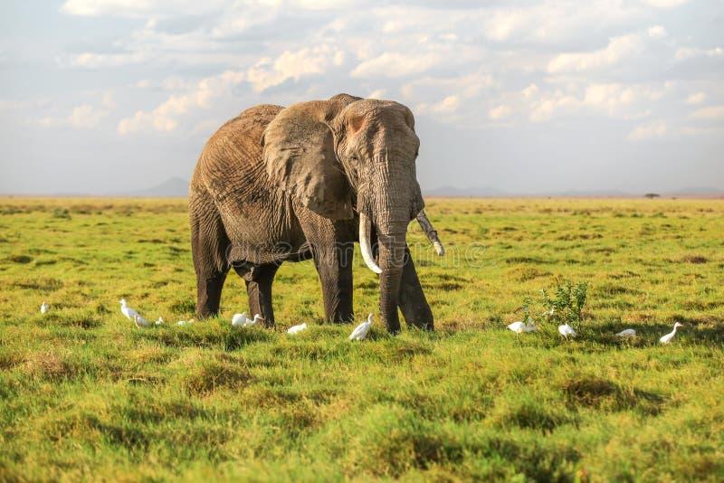 Africana africano do Loxodonta do elefante do arbusto que waliking na baixa grama do savana, pássaros brancos da garça-real ao re foto de stock